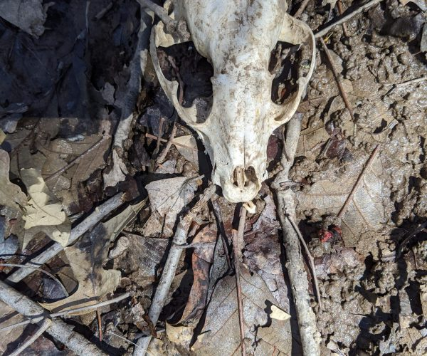 whose skull is that?